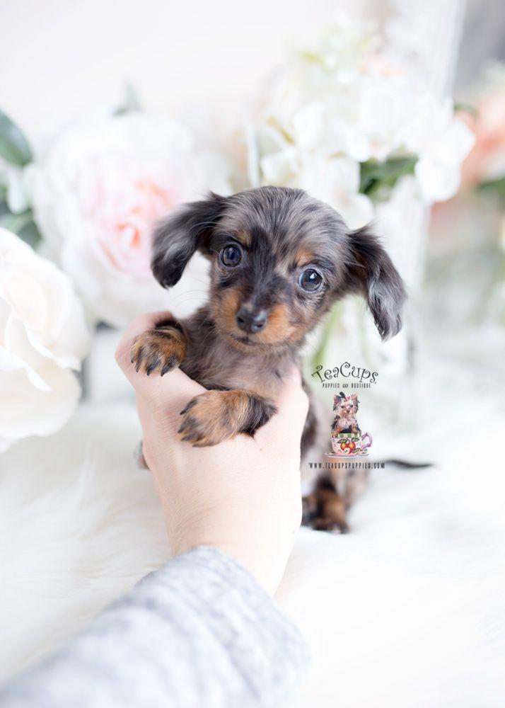Merle Silver Dapple Long Haired Mini Dachshund Puppy Teacup Puppies Dapple Dachshund Dachshund Puppy Miniature Daschund Puppies
