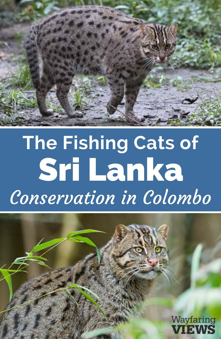 The endangered Asian fishing cat of Sri Lanka fights habitat loss in urban Colombo. Learn more about conservation efforts to save them. #srilanka #wildlife   travel | #wildcats #conservation #naturelover