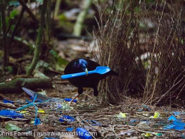 A male #Satin #Bowerbird decorating his bower with bright #blue objects, including this plastic spoon #aus_wildlife