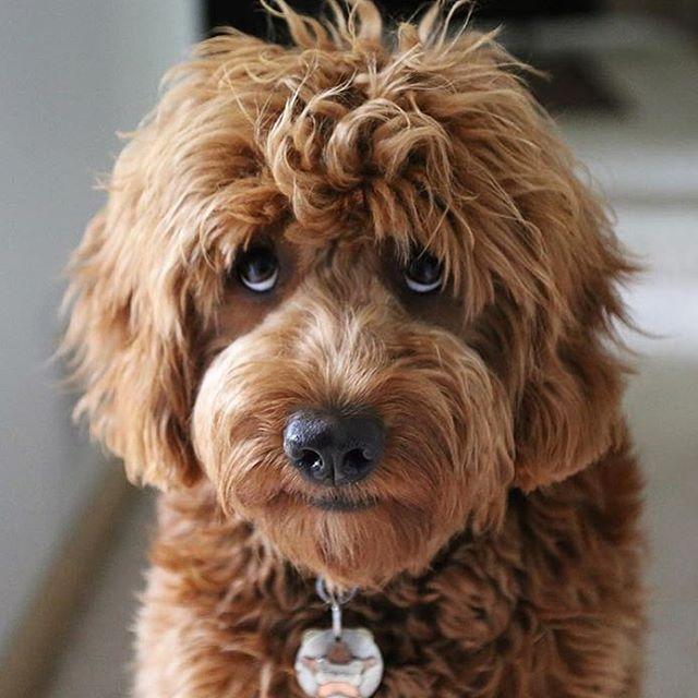 Best 25 Mini Goldendoodle Ideas On Pinterest Dogs