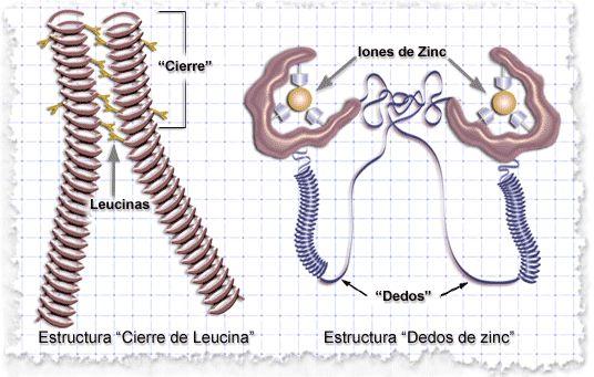 Descubre cómo funcionan as proteínas