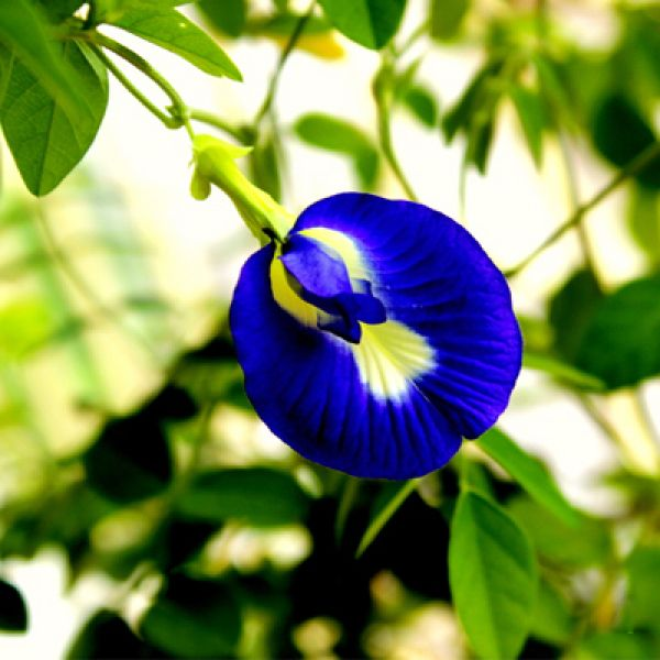 Clitoria Ternatea Gokarna Mix Color Hybrid 0 5 Kg Seeds Bulb Flowers Plants Herbal Plants