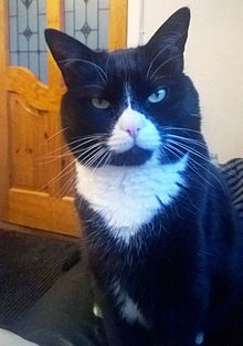 Bicolor cat - Wikipedia, the free encyclopedia