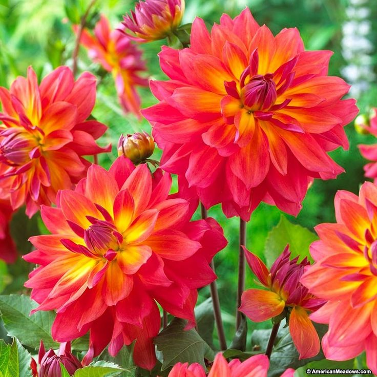 """'Fire Pot' Dahlia is one of the brightest blooms in the garden! Water lily-like flowers arrive mid summer in a brilliant coral-pink, and open to reveal showy yellow streaks. A semi dinner plate dahlia that produces an abundance of 4"""" wide blooms on sturdy stalks, plant 'Fire Pot' in full sun and cut fresh flowers often to inspire the appearance of new buds. (Dahlia)"""