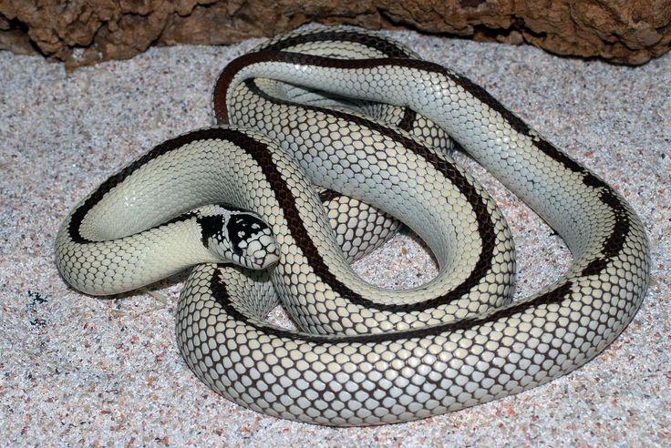 California king reverse stripe high white female Snakes