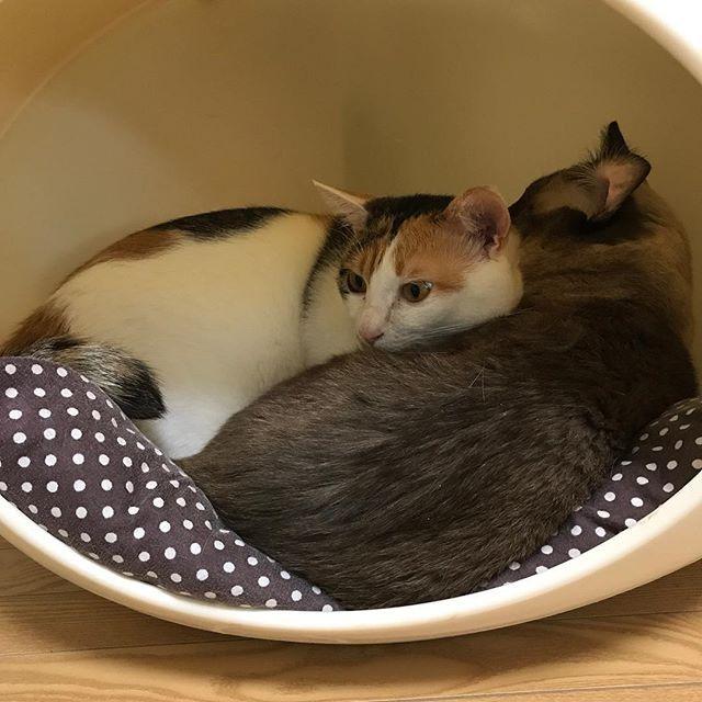 小さい頃から、眠くなってくるとモカに甘えるきなこ😹本当は一人が大好きなモカが、いつだって黙ってそれを受け入れてる姿が愛しくてたまらない♡  #freetempo_0323 #iPhoneography #猫 #ねこ #ネコ #cat #cats #instacats #mycat #lovelycat #nekostagram #catstagram #cats_of_instagram #lovecats #catlover #癒し #家猫 #愛猫 #mochaらいふ #きなこらいふ #にゃんら部 #親バカ部 #靴下猫 #かぎしっぽ #nekoclub #保護猫 #ねこすたぐらむ #にゃんすたぐらむ #にゃんだふるらいふ #猫のいる暮らし