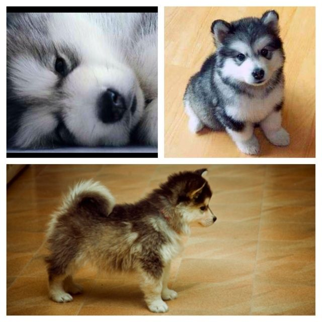 husky puppies pomeranian - photo #22