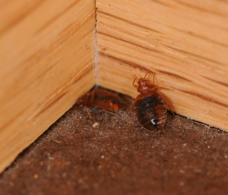 Bed bugs in corner of room. 7 best Pictures of Bed Bugs images on Pinterest   3 4 beds  Bed
