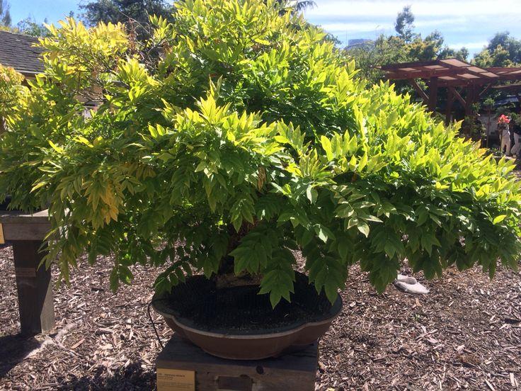22 Best Junipers Images On Pinterest Bonsai Bonsai Nursery And Bonsai Trees