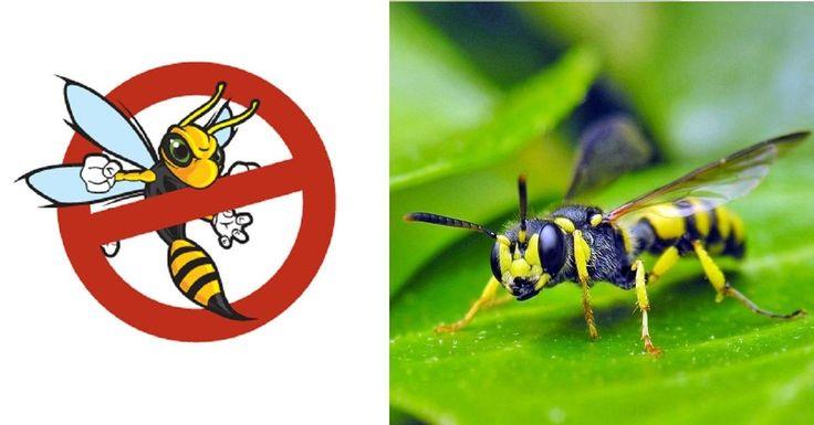 Vous avez en horreur les guêpes? En faite, vous en avez peur? Chassez-les de façon naturelle sans avoir à les tuer! Chaque espèces à sa raison d'être sur la terre. Toutcomme les abeilles! On ne voudrait surtout pas créer un dé-balancement denotre b