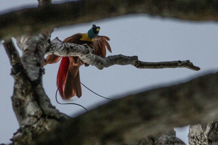 Paradise bird of west papua