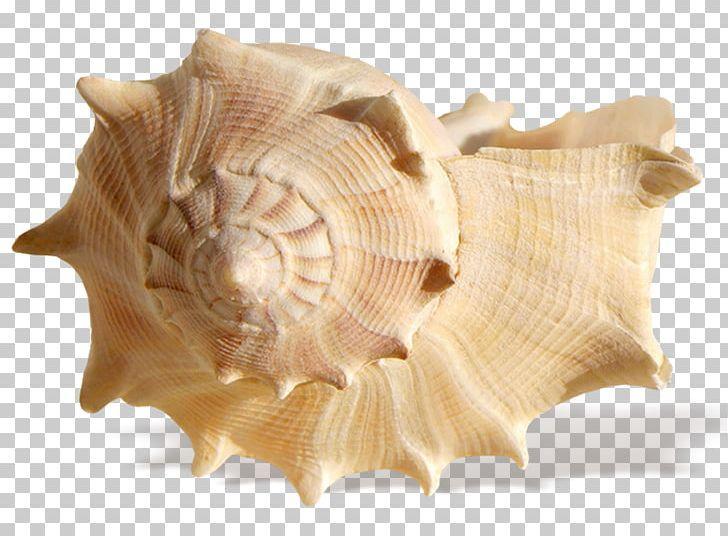 Seashell Resonance Ocean Shore Png Ocean Treasures Sea Shells Png