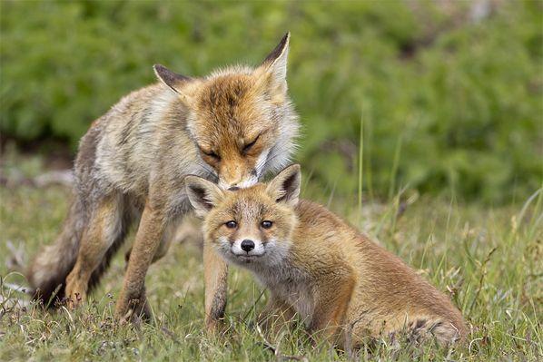 Vroege Vogels: Behulpzame vossentante Fotograaf: Angela Louwe