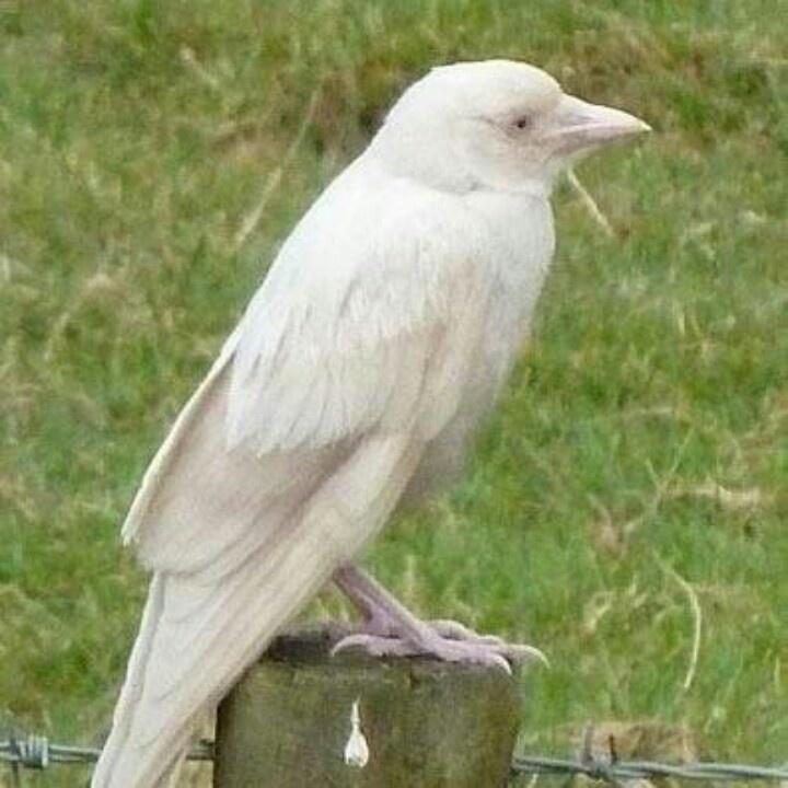Albino crow - photo#5