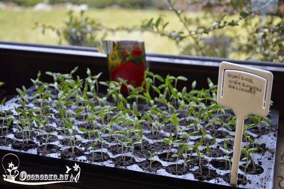 Как правильно вырастить рассаду помидор дома в квартирных условиях, крепкая и здоровая рассада, как и когда правильно сеять семена и что делать дальше, если...