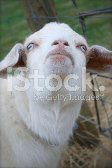 Kiko Goat royalty-free stock photo