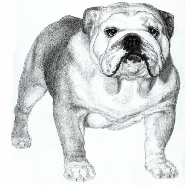 bulldog drawing tags dog drawings bulldog drawings portrait drawings drawing