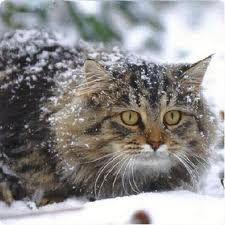 Un viejo gato azul: Raza Bosque de Noruega Skogkatt