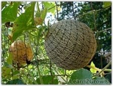 """Our cantaloupe and watermelon vines grew in abundance on the chain link. We held the fruit aloft in """"hammocks"""" to ripen: I made the little beds out of strips of bird netting, tied at either end to the fence. Not only was the fruit safe from rotting on the ground and from four-footed nibblers, it was easy to spot the ready-to-pick ones at a glance."""