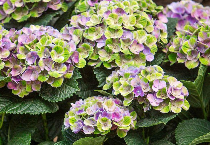 Magical Four Seasons är en serie långtidsblommande hortensior som följer årstidernas växlingar och skiftar färg efter säsong. De hållbara blommorna och robusta plantorna passar perfekt i trädgården eller i stora vackra krukor på uteplatsen, eftersom de inte bryts av väder och vind.