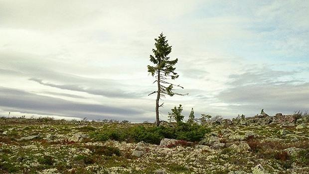 A sus 9.550 años, «Old Tjikko» continúa creciendo en Suecia