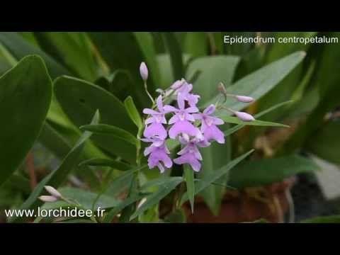 Epidendrum centropetalum - Orchidées Vacherot et Lecoufle - Lorchidee.fr