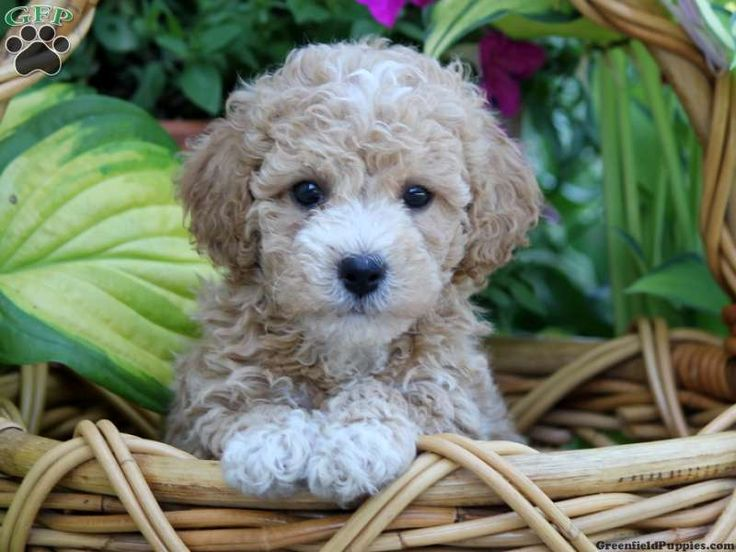 Bichpoo Puppies For Sale Near Me References