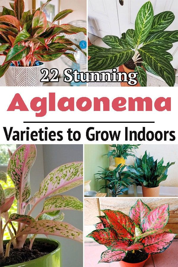 22 Stunning Aglaonema Varieties To Grow Indoors In 2020 Chinese Evergreen Plant Growing Indoors Chinese Evergreen Houseplant