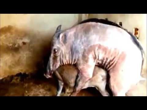 El apareamiento divertida del cerdo