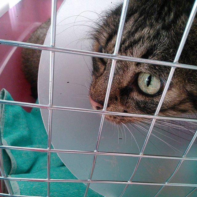 Curiosità: in coda dal #veterinario c'è un #cane!!!! No, dico, un cane! #kittyingabbia #cono #bibi