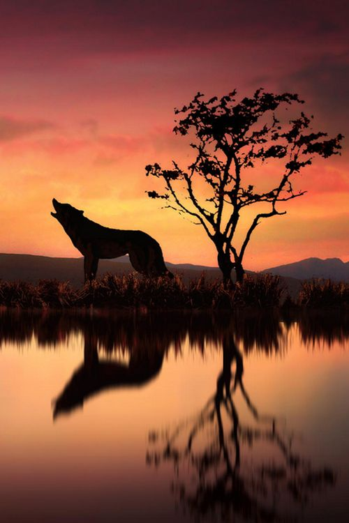 """Wolves had such a mournful, blood-curdling howl."" Zane Grey.   (The Wolf At Sunset, Photo by Jenny Woodward)"