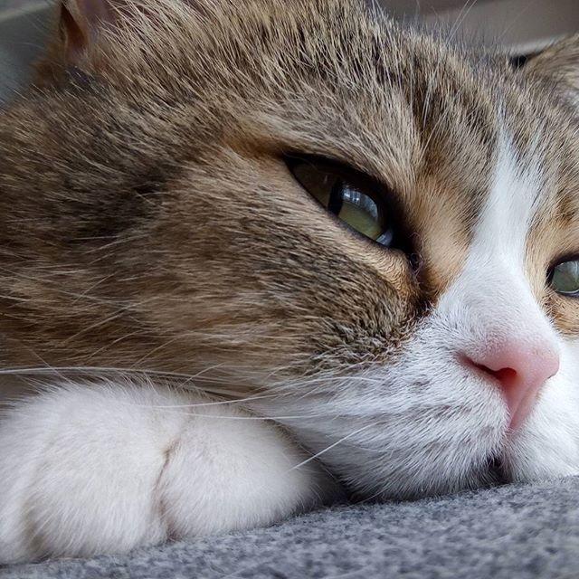 #クリームパン 可愛いすぎ😝💗. . #空 #猫 #愛猫 #ぴくねこ #家族 #ペット #picneko #pet #family #love #exoticshorthair #エキゾチックショートヘア #おやばか #ふわもこ部 #ぶさかわ #かわいい #ぺちゃ顔 #ネコ #ねこ部 #ねこばか部 #ぺこねこ部 #くーちゃん #catstagram #catsofinstagram #catlove #lovemycat #lovemypet#ペピ友