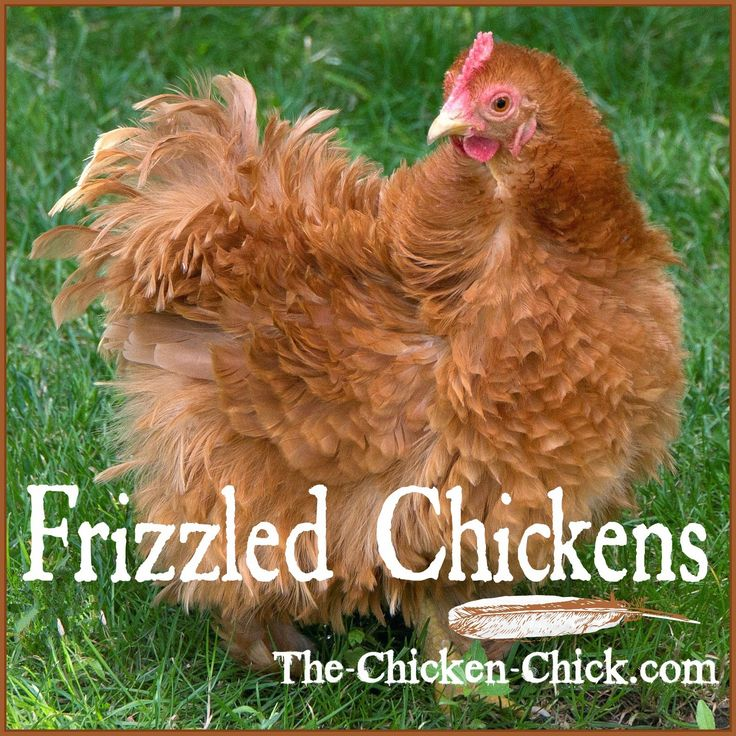 """Frizzle"" refers to a genetic trait that causes a chicken's feathers to grow out and curl away from the body instead of growing flat and smooth."