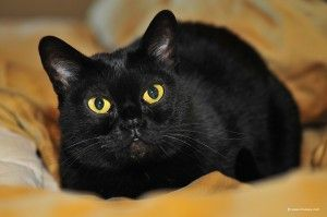 bombay-cat-photo. Beautiful cat. I love the face on this cat.  The Incensewoman