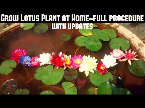 How to Grow Lotus Plant at Home With Updates( FAST N EASY METHOD) - YouTube