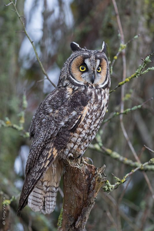 Long-eared Owl (Asio otus) found in the Northern Hemisphere of North America, Europe and Asia