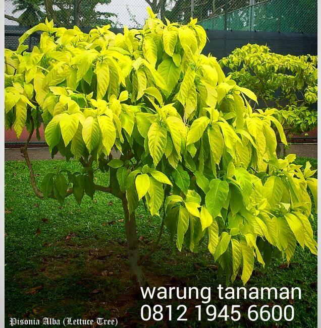 Pohon Kol Banda