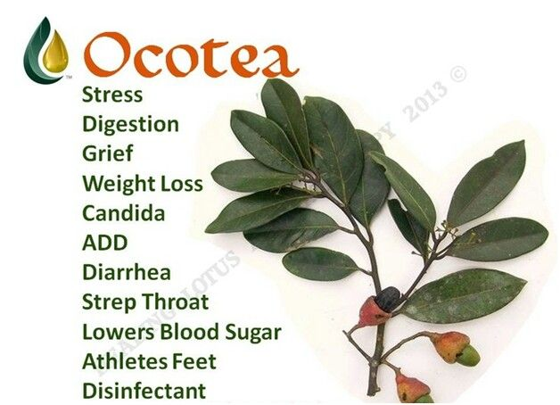 The Many Benefits of Ocotea Ocotea Plant from the deep Amazon. 1. Lowers blood sugar: Take 1-3 drops under tongue every 10 min til blood sugar is normal. 2. Disinfectant 3. Aesthetic 4. Anti diarrhea. 5. Antibiotic (Trans cinmalohol) 6. Anti-inflammatory (has sesquiterpenes) 7. Eliminates Candida and streptococcal 8. Works with the liver; balancing metabolism. 9. Of 88 children tested- 66 had parasites, 22 had parasites and Candida. 1 drop Ocotea in 8 oz glass of water and diffused. Kille...
