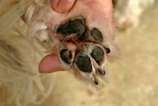 If you are a DIY groomer, trimming Shih Tzu paw pads is one task that you should not forget to do.   Learn how to do this yourself.