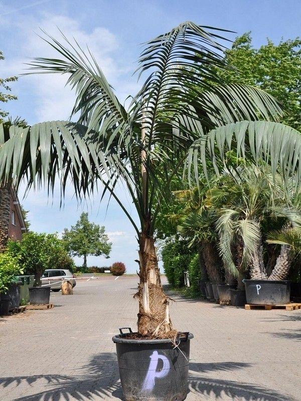 17 best ideas about kentia palm on pinterest interior. Black Bedroom Furniture Sets. Home Design Ideas