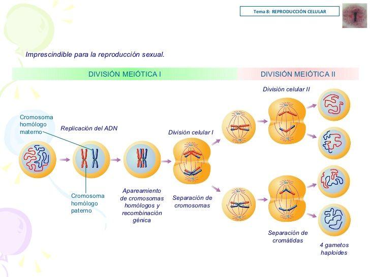 Num De Cromosomas Y Adn En Cada Fase Division Celular