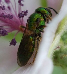 Native pollinators feel the sting of habitat loss U-T San Diego by Deborah Sullivan Brennan Sweat Bee Credit: John Baker In James Hung's collection at UC S.....GREAT ARTICLE ON NATIVE BEES..