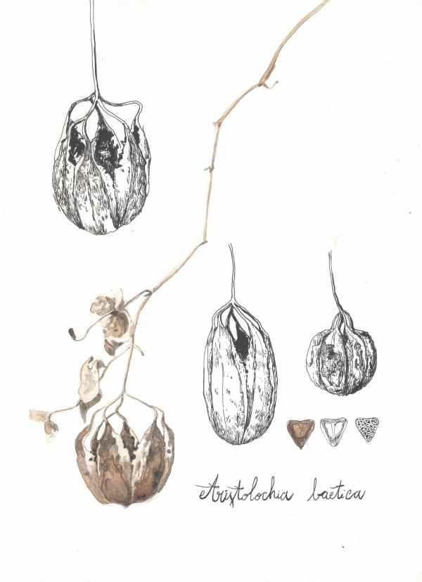 aristoloche fruits