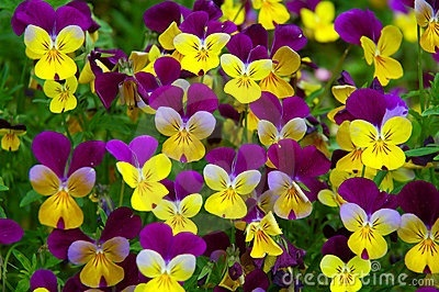 Yellow-Purple Pansy