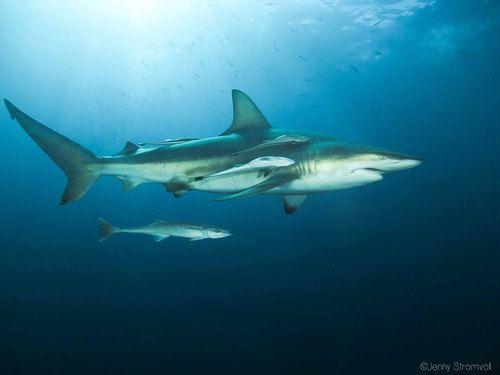 Oceanic blacktip shark in Ponta do Ouro Mozambique.