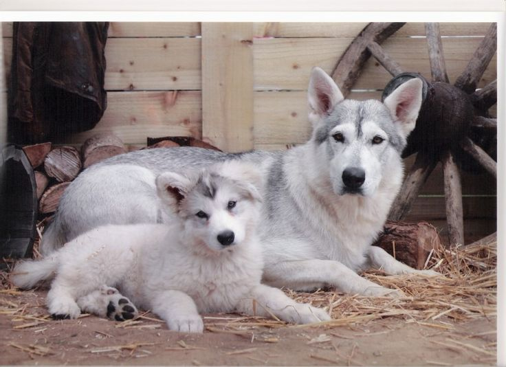 Northern Inuit Dog - the cutest dogs that they use for the ...