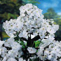 Phlox Flower gardens for everyone plant flowers perennials bulbs tubers roots rhizomes corms