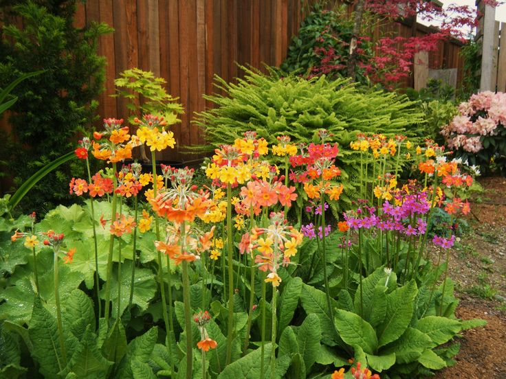 Details about Primula beesiana Candelabra Primrose