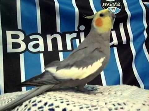Calopsita Assobiando O Hino do Grêmio.avi - assista videos online gratis,videos para assitir g.flv - YouTube
