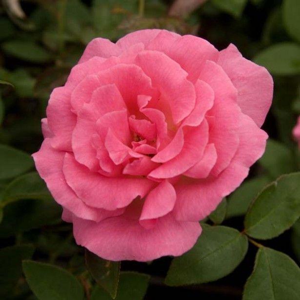 les 25 meilleures id es de la cat gorie rosiers grimpants sur pinterest roses fleurs d. Black Bedroom Furniture Sets. Home Design Ideas